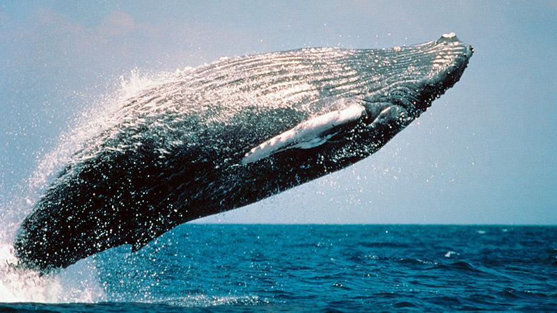 Baleias Jubarte em Prado